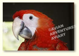 Young scarlet macaw portrait