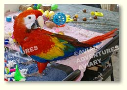 Young scarlet macaw with toys
