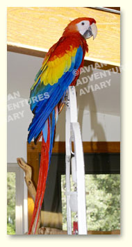 Young scarlet macaw